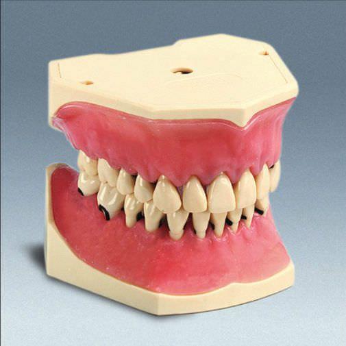 Denture anatomical model A-PZ frasaco
