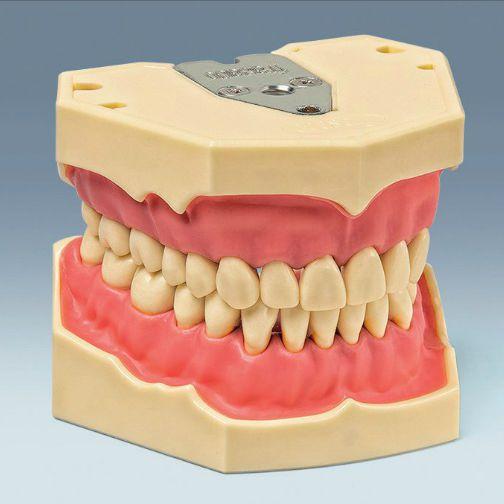 Denture anatomical model AG-3 frasaco