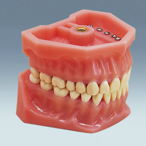 Denture anatomical model A-3 frasaco