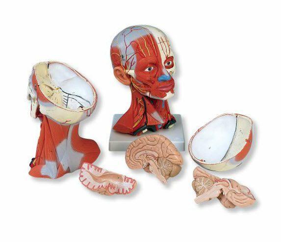 Muscular anatomical model C05 3B Scientific