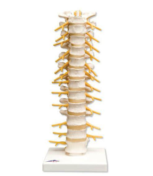 Thoracic vertebra anatomical model A73 3B Scientific
