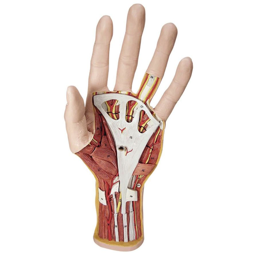 Hand anatomical model M18 3B Scientific