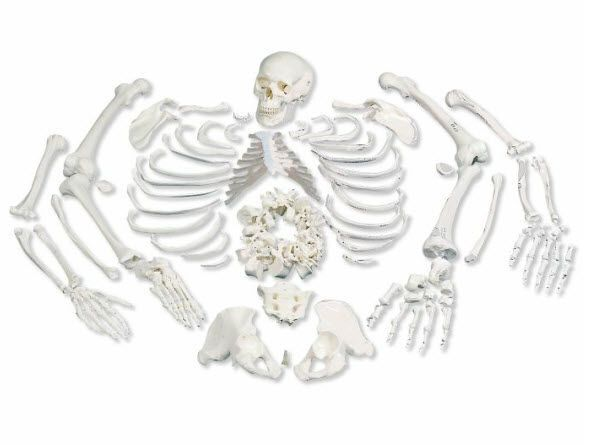 Skeleton anatomical model / disarticulated A05/1 3B Scientific