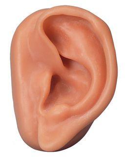 Ear anatomical model / acupuncture N15/1L 3B Scientific