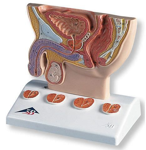 Prostate anatomical model K41 3B Scientific