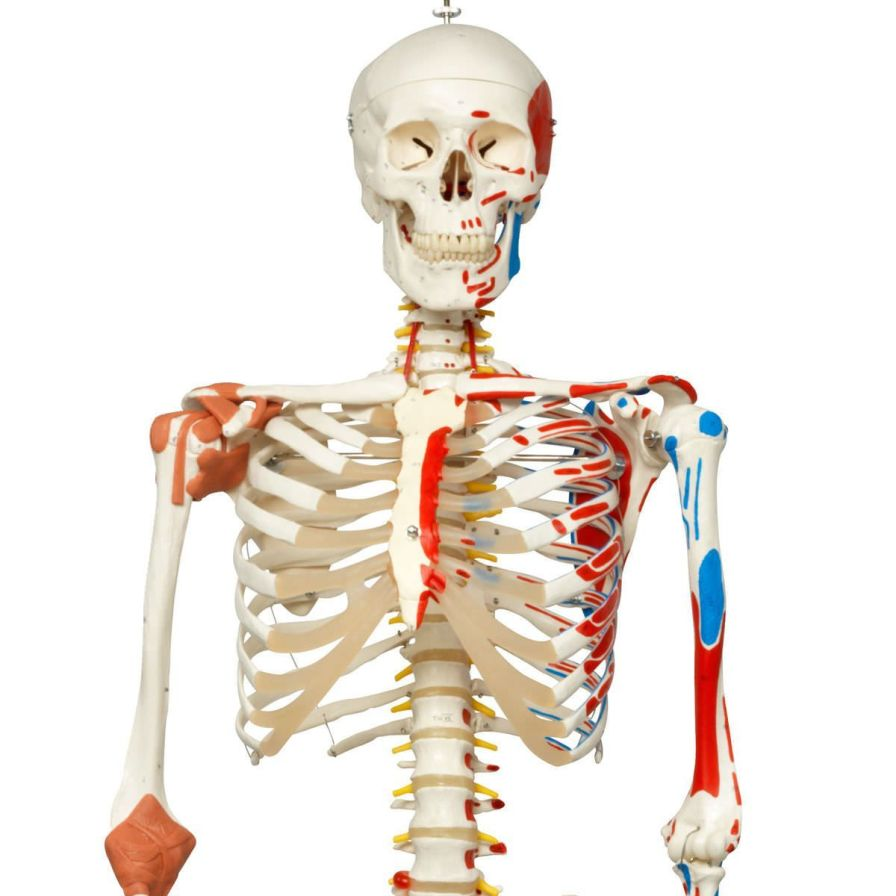 Skeleton anatomical model / articulated Sam A13/1 3B Scientific