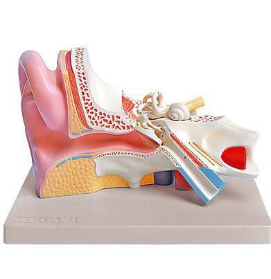 Ear canal anatomical model 6220.08 Altay Scientific