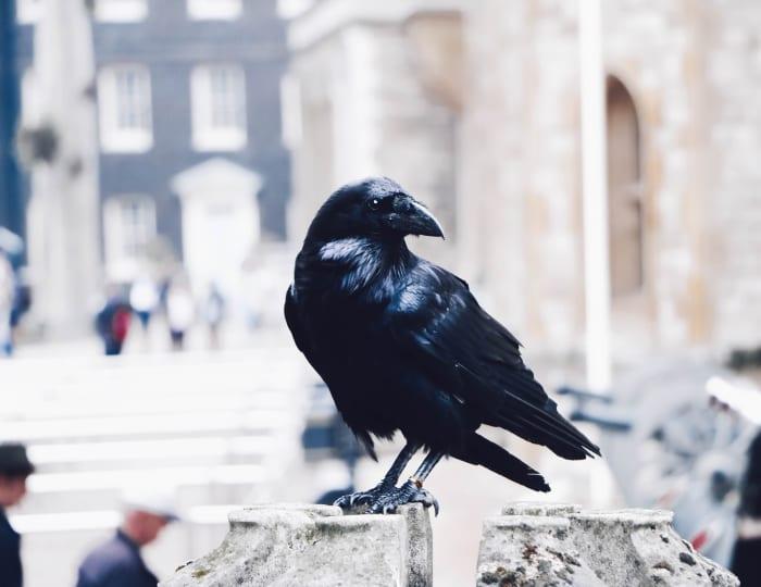 Les corbeaux classiques autour de la Tour de Londres