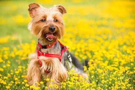 Yоrkѕhіrе Terrier