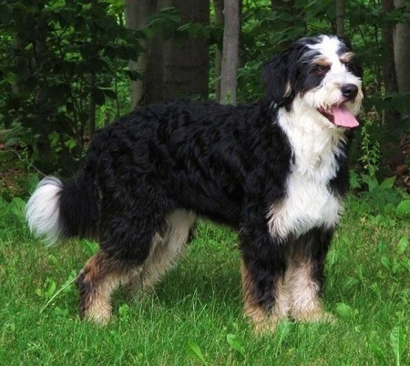 bernese mountain dog poodle