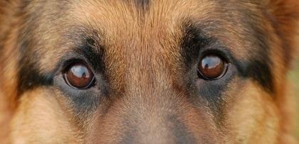 Watery Eyes in Dogs