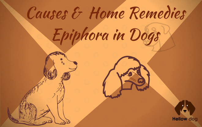epiphora in dogs