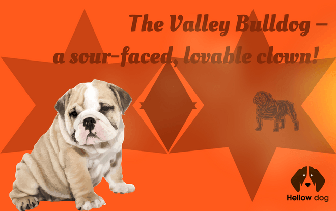 valley bulldog puppies