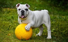 Bulldog- Child Friendly Dog Breed