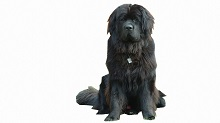 Newfoundland -Medium Sized Family Friendly Dog Breeds