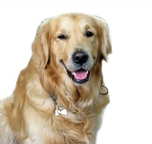 Kids Like Golden Retriver Dog