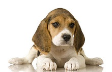 Beagle-Best Puppy For Baby