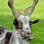 Goat licking