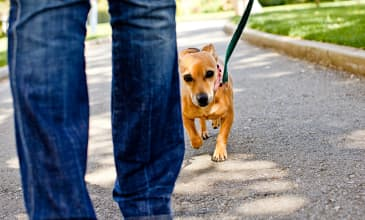 A small brown dog walks behind a person in jeans outdoors