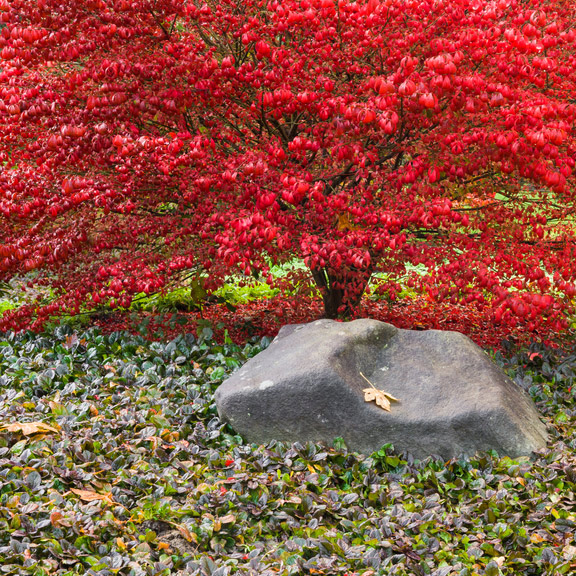 Japanese maples ablaze in color in Seattle