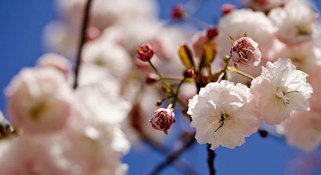 A close-up of cherry blossoms against a deep blue sky