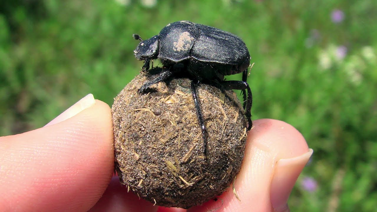 Dung Beetle - Dance