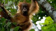 Orangutan - Motherhood