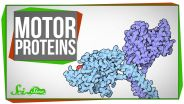 Motor Proteins - Functions