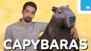 Capybara - in Pop Culture