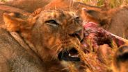 Lion - Hunting Technique