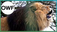 Lion - Volume of Roar