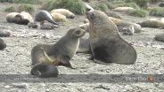Fur Seal - Mating Ritual