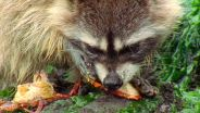 Raccoon - Feeding