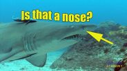 Shark - Sense of Smell