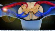 Spinal Cord - Reflex Arc