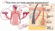 Body Temperature Regulation - Human Homeostasis