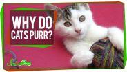 Cat - Purring