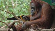 Orangutan - Social Behaviour