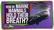 Marine Mammals - Respiratory System