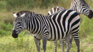 Zebra - Stripes