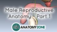 Male Reproductive System - Testis and Epididymis