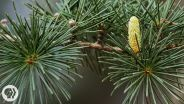 Pine Cone - Reproduction