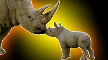 Rhinoceros - Infancy