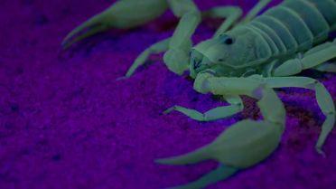 Mojave Desert Sand Scorpion