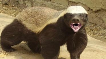 Honey Badger - Facts