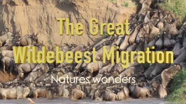 Wildebeest - Migration