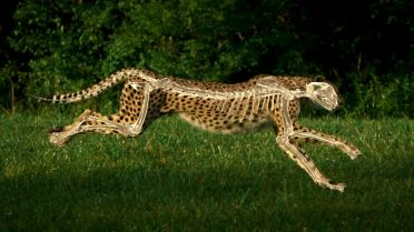 Cheetah - Anatomy