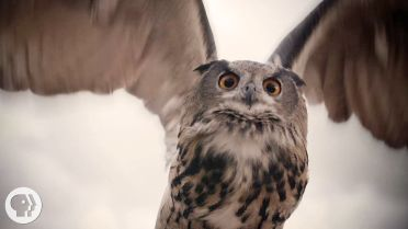 Owl - Flight and Feathers