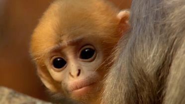 Phayre's Leaf Monkey - Infancy