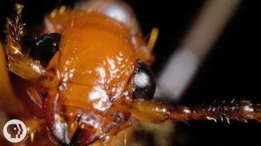 Bombardier Beetle - Defense Mechanism